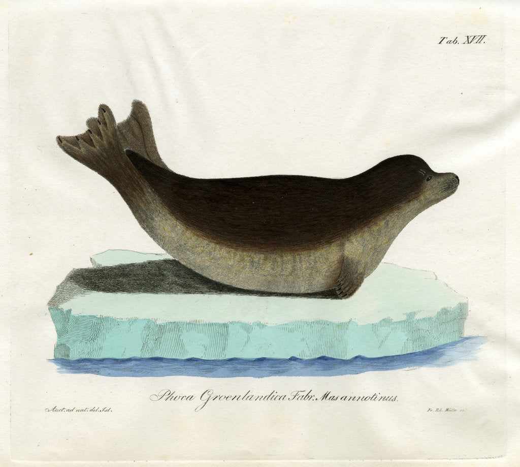 Detail of Harp seal by Friedrich Eduard Müller