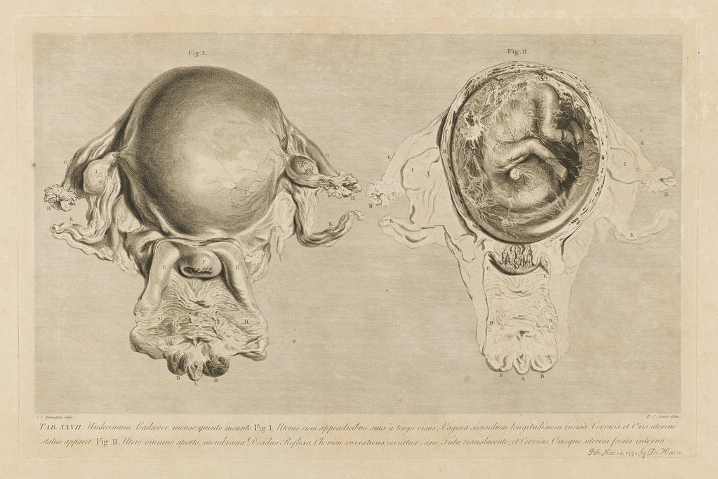 Human gravid uterus posters & prints by Pierre-Charles Canot