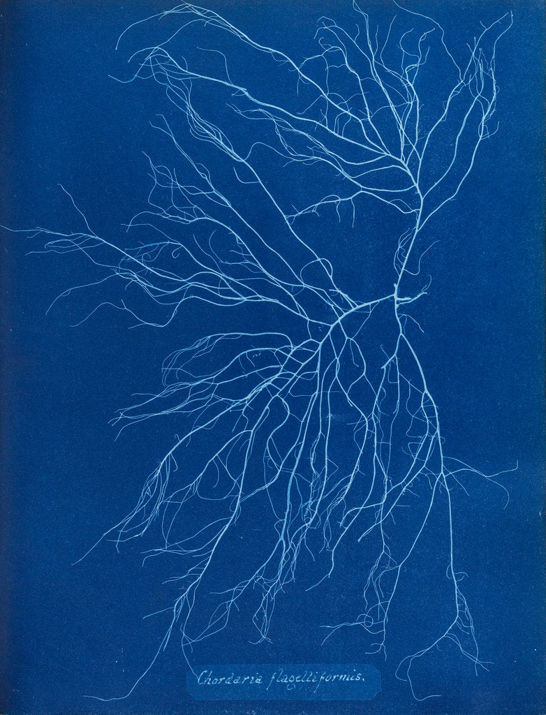 Detail of Slimy whip weed by Anna Atkins