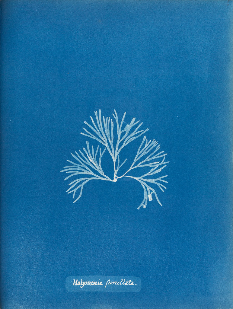 Detail of Halymenia furcellata by Anna Atkins
