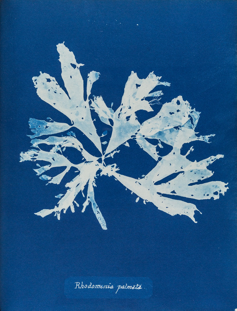 Detail of Rhodymenia palmata by Anna Atkins