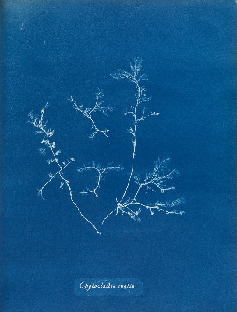Detail of Chylocladia ovalis by Anna Atkins