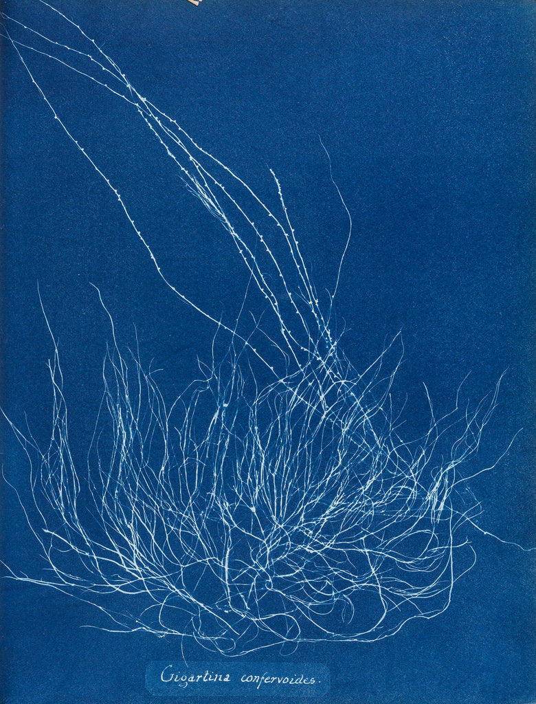 Detail of Gigartina confervoides by Anna Atkins