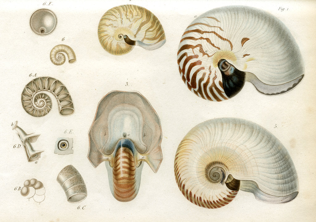 Detail of Nautilus specimens by Unknown