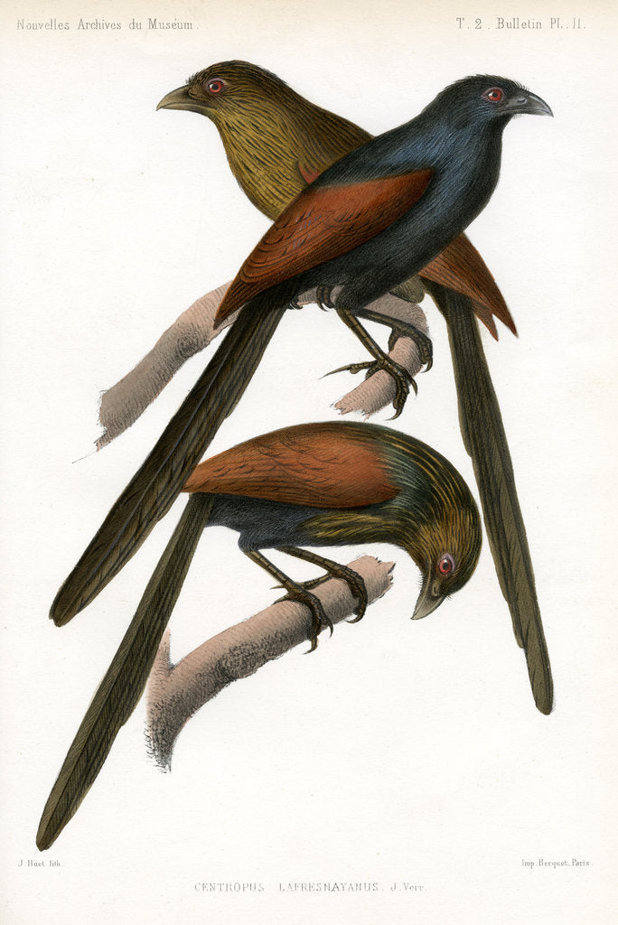 Detail of Malagasy coucal by J Huet