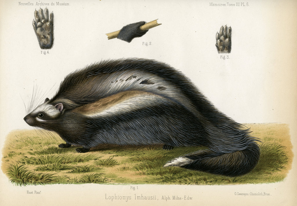Detail of Maned rat by J Huet