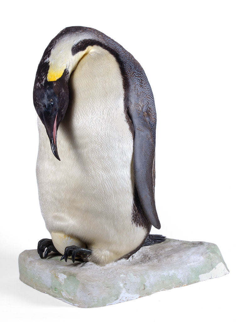 Detail of Emperor penguin by Anonymous