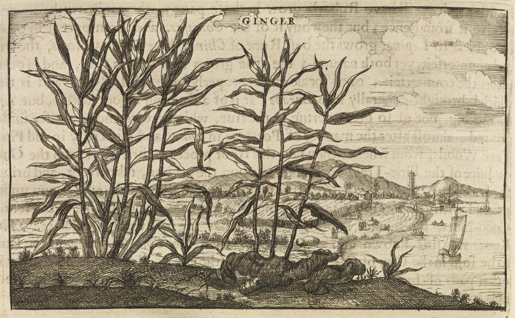 Detail of 'Ginger' by Wenceslaus Hollar