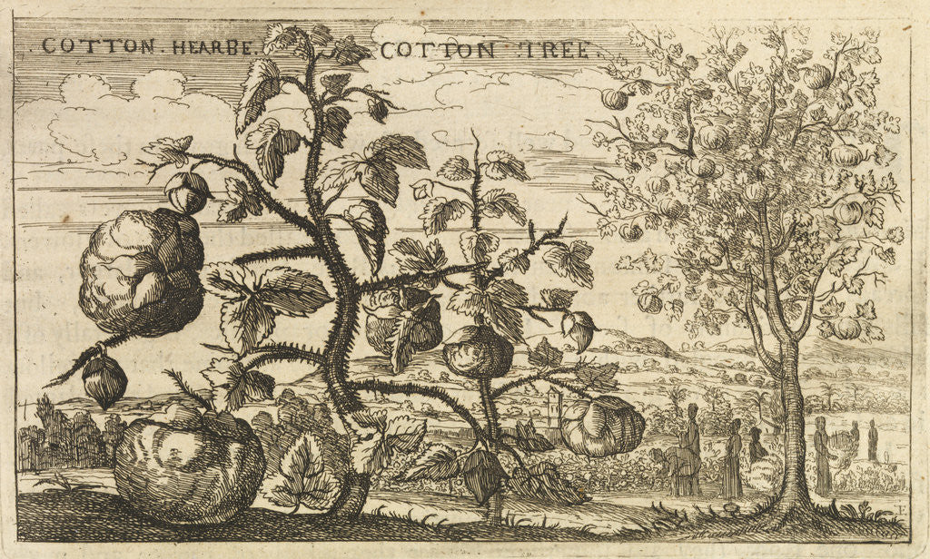 Detail of 'Cotton Tree' by Wenceslaus Hollar