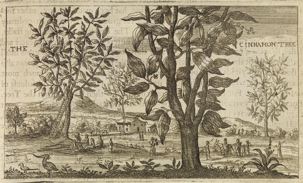 Detail of 'The Cinnamon Tree' by Wenceslaus Hollar