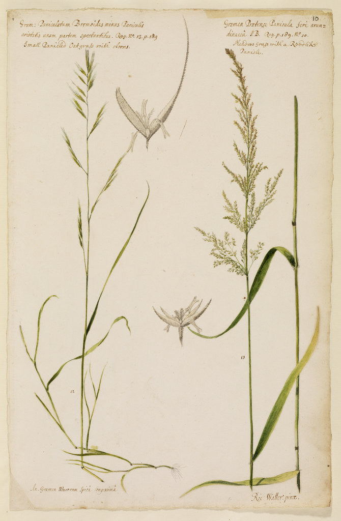 Detail of Small panicled oat grass and meadow grass with reed-like panicle by Richard Waller