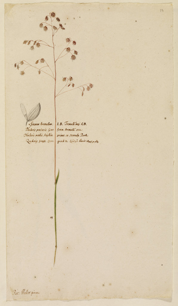 Quaking grass or Lady's hair by Richard Waller