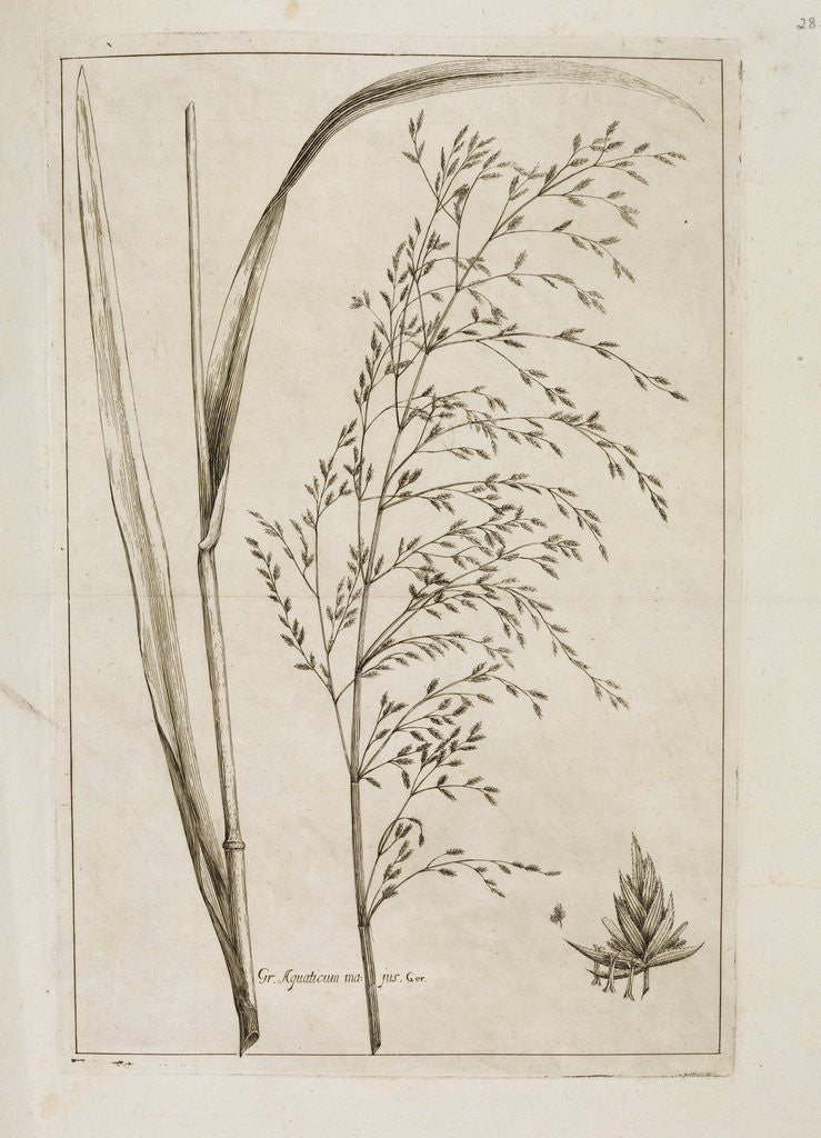 Detail of Reed or water meadow grass by Richard Waller