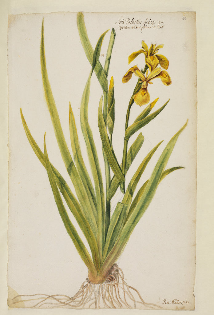 Detail of Yellow flag iris by Richard Waller