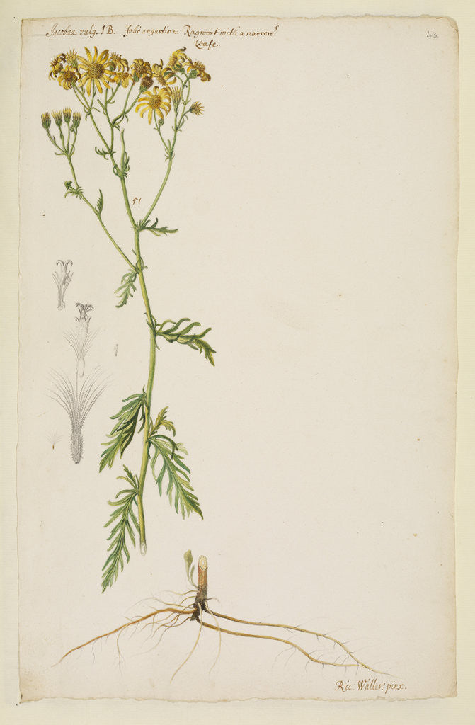 Detail of Ragwort with narrow leaf by Richard Waller