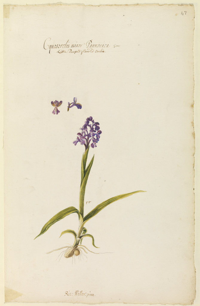 Detail of Little purple flowered orchid by Richard Waller