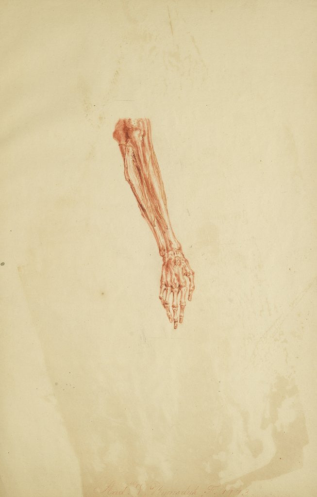 Detail of Anatomical study of forearm and hand by Andreas van Rymsdyk