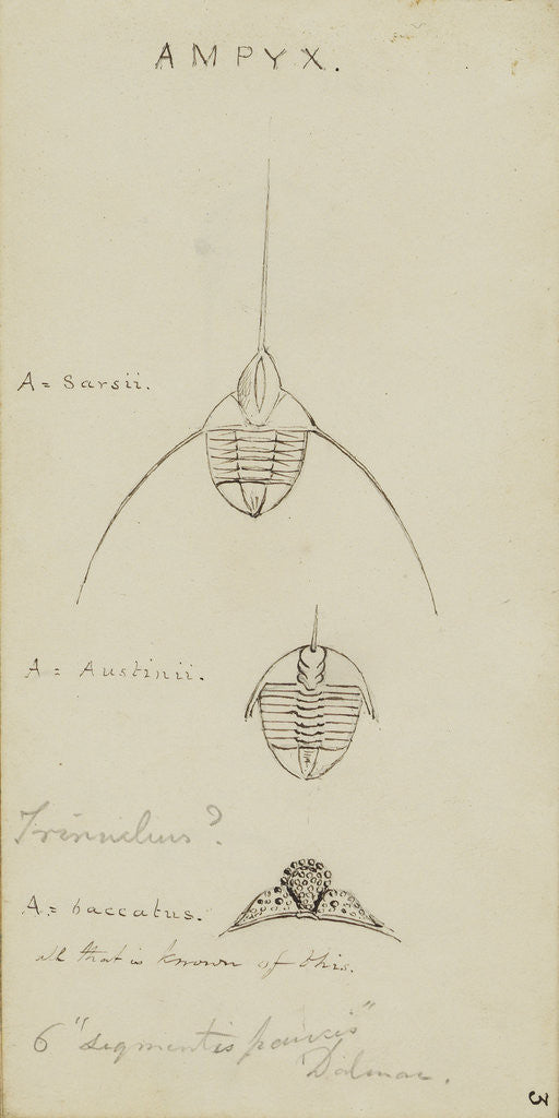 Detail of Ampyx, genus of trilobite by Henry James