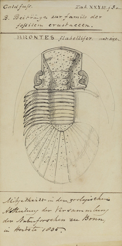 Detail of Brontes flabellifer, species of trilobite by Henry James