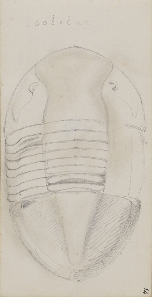 Detail of Isotelus, genus of trilobite by Henry James