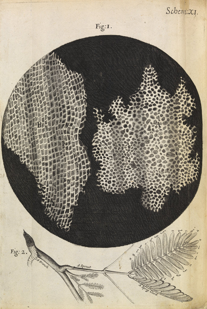 Detail of Microscopic view of cells in a sliver of cork by Robert Hooke