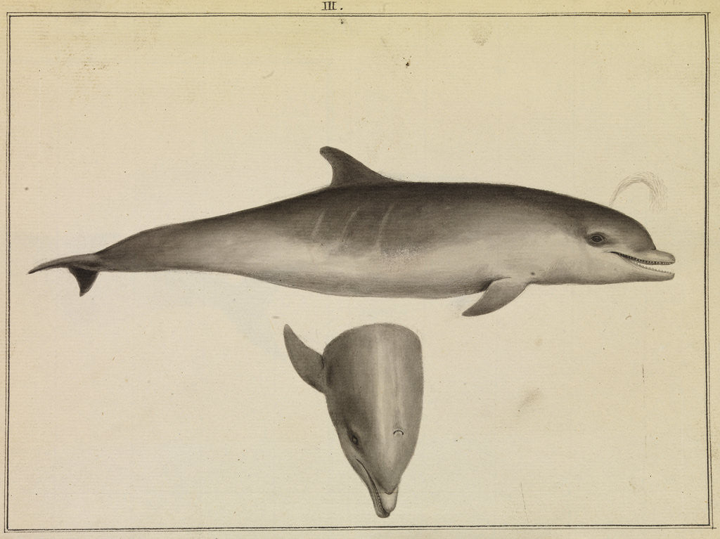 Detail of Bottlenose dolphin by William Bell