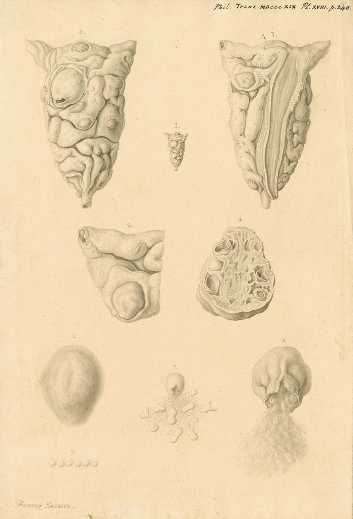 Detail of Ovaries of Ornithorhynchus paradoxicus [Platypus] by Franz Andreas Bauer