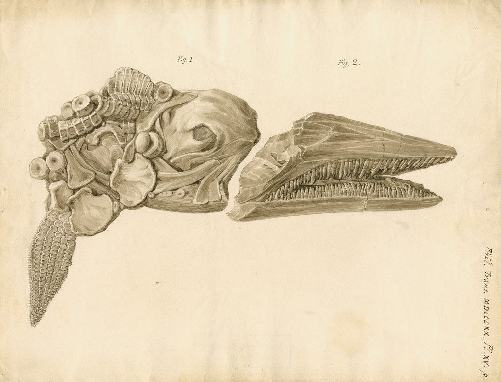Detail of Fossil skull and jaws of the Proteosaurus [Ichthyosaur] by William Clift