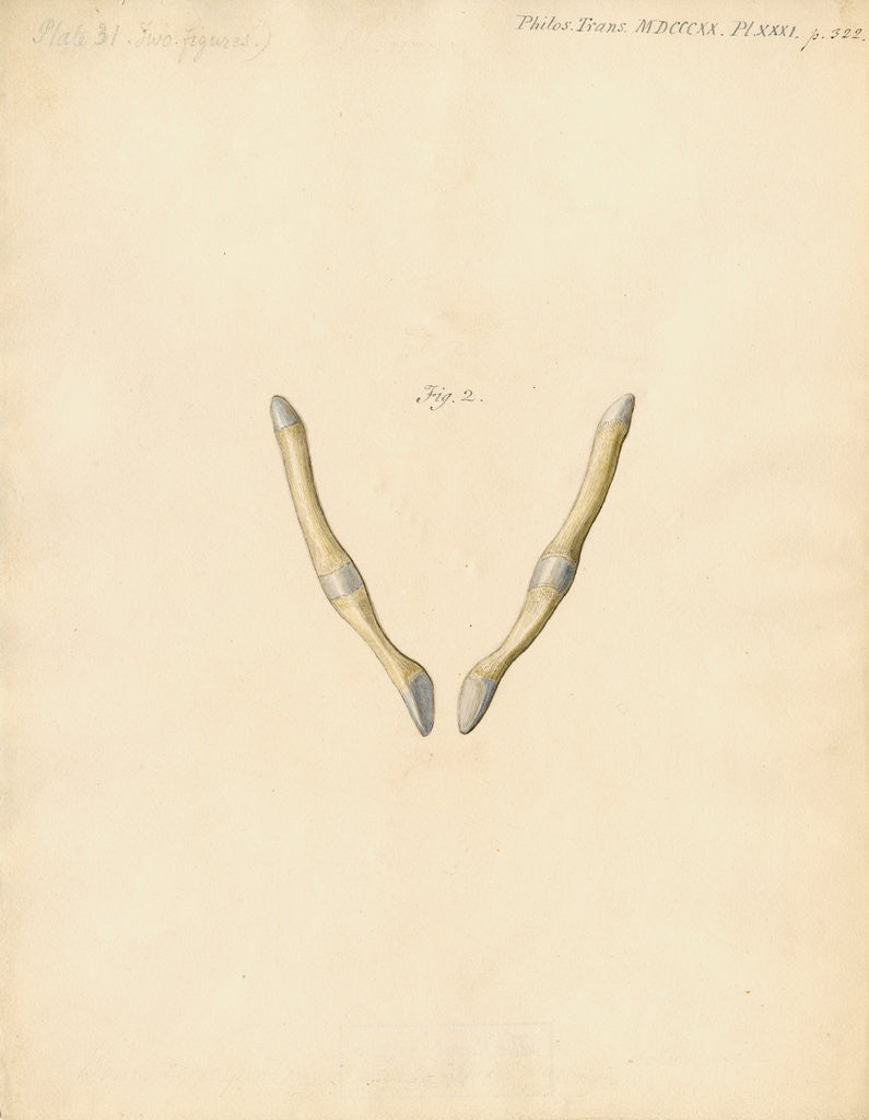Detail of Dugong pelvic bones by William Clift