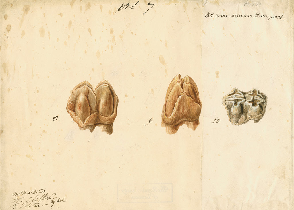 Detail of Fossil teeth of hippopotamus by Thomas Webster