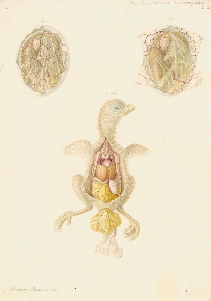 Detail of Hen's egg and dissected embryo by Franz Andreas Bauer