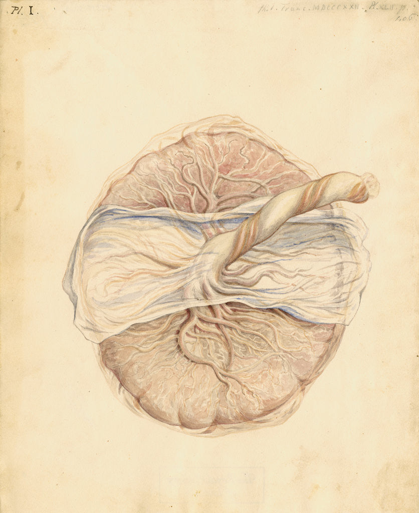 Detail of Human placenta by William Clift