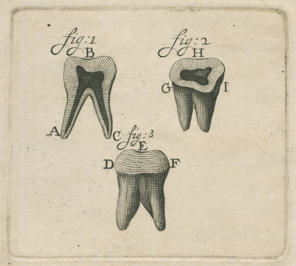 Detail of Microscopical observations of the structure of human teeth by Anonymous