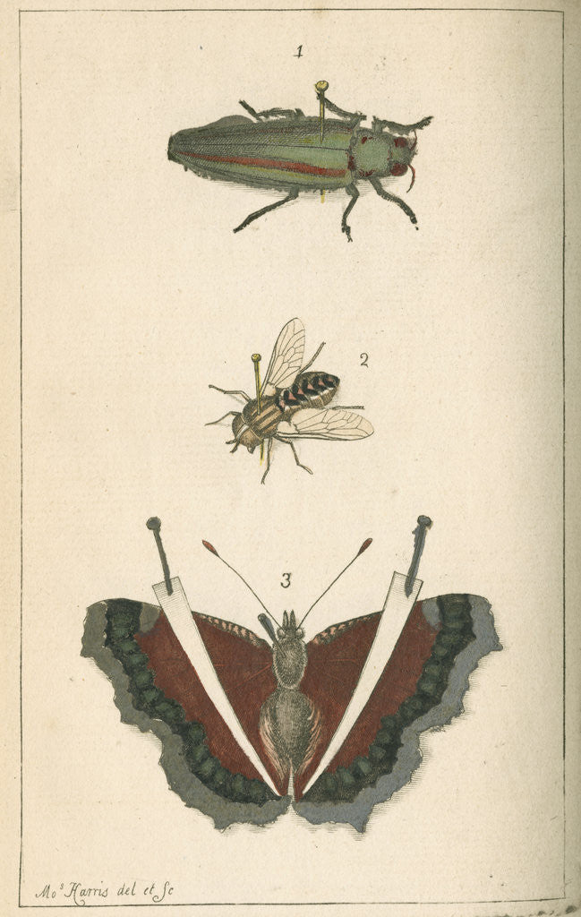 Detail of Specimens of a beetle, insect and butterfly by Moses Harris