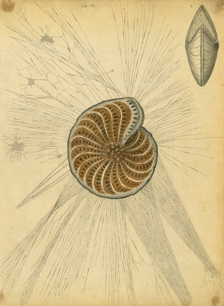 Detail of 'Polystomella strigilata' [specimens of foraminifera] by Henry Bowman Brady
