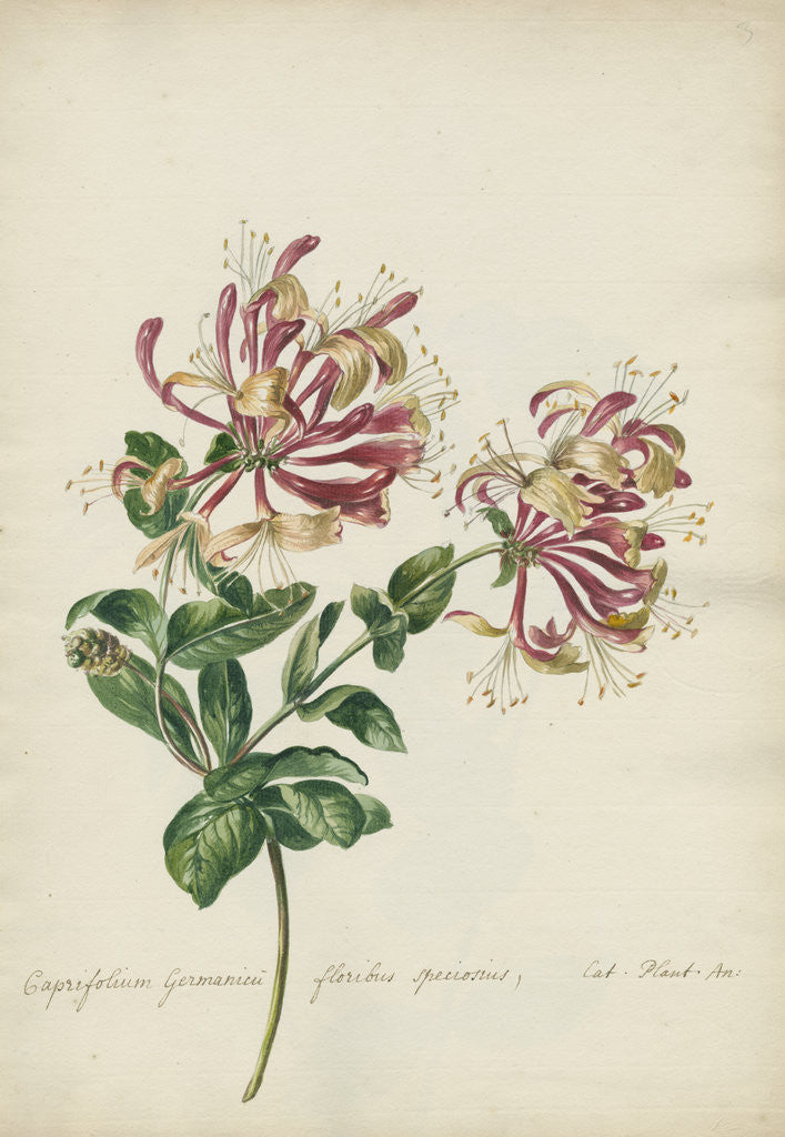 Detail of 'Caprifolium Germanicu...' by Jacob van Huysum