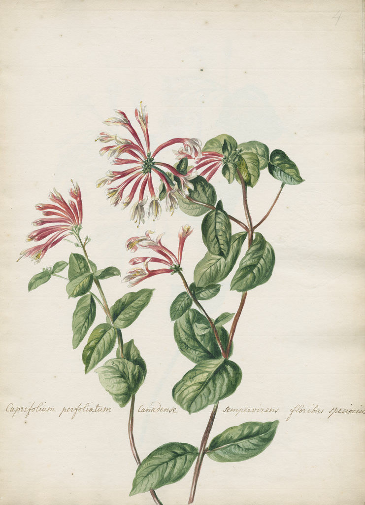 Detail of 'Caprifolium perfoliatum...' by Jacob van Huysum