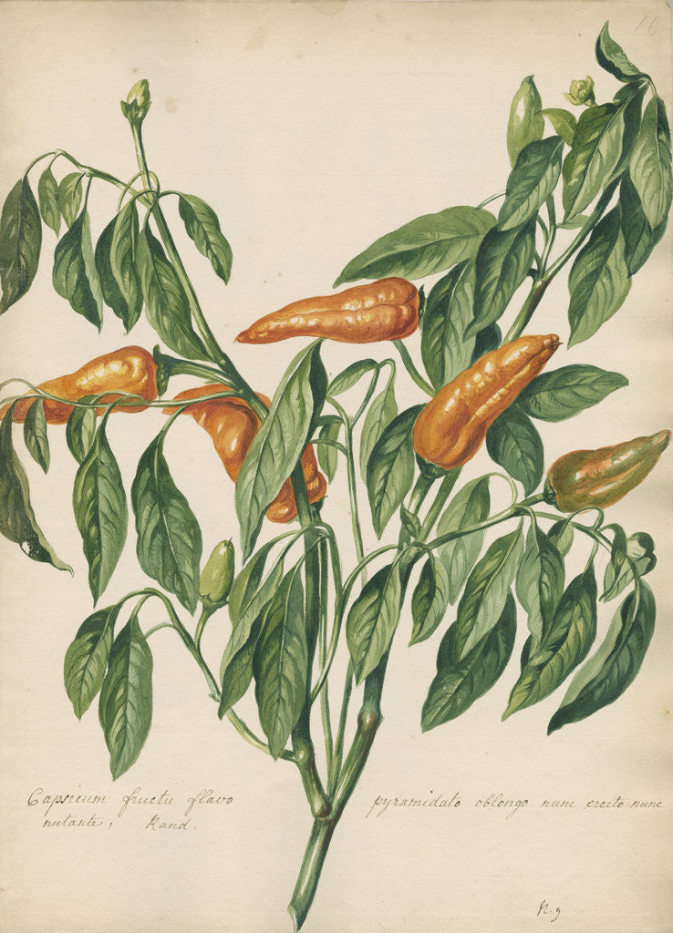 Detail of Capsicum fructu flavo pyramidato... by Jacob van Huysum