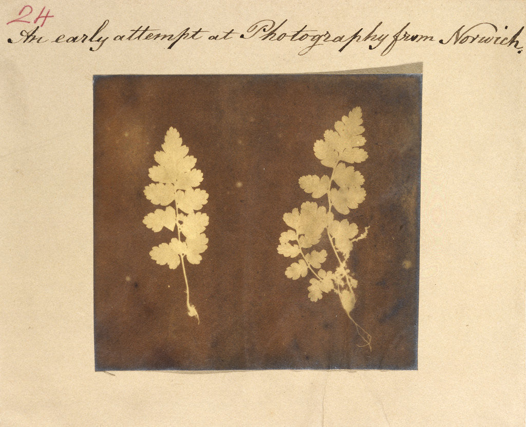 Detail of Two specimens of fern leaf by Caleb Burrell Rose