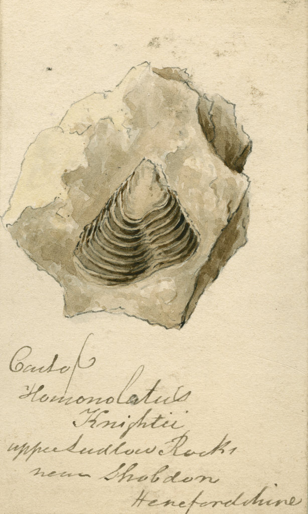 Detail of Fossil shell 'Homonolatus knightii' by Anonymous