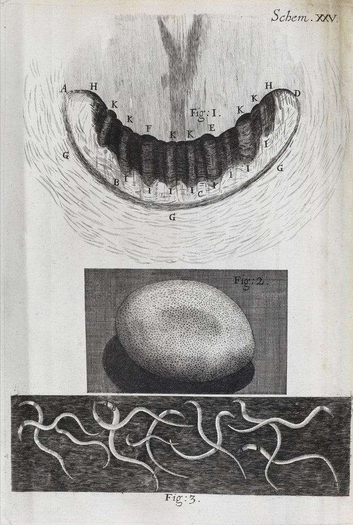 Microscopic views of a snail's teeth, silk-worm's egg and vinegar eels by Robert Hooke