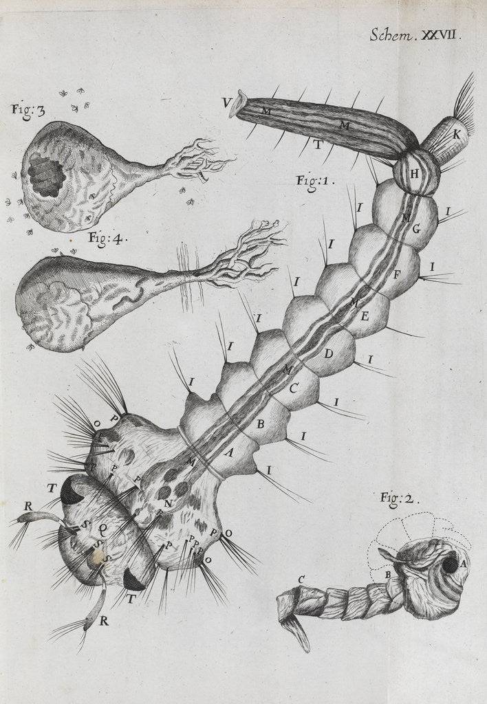 Detail of Microscopic views of a water-dwelling insect by Robert Hooke