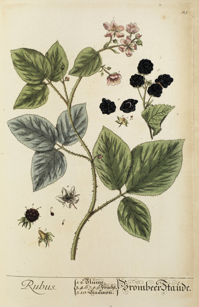 Detail of 'Rubus' by Elizabeth Blackwell