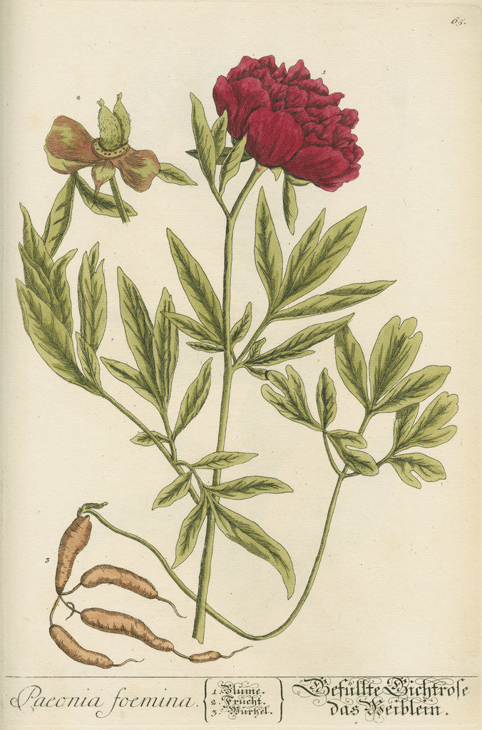 Detail of 'Paeonia foemina' by Elizabeth Blackwell
