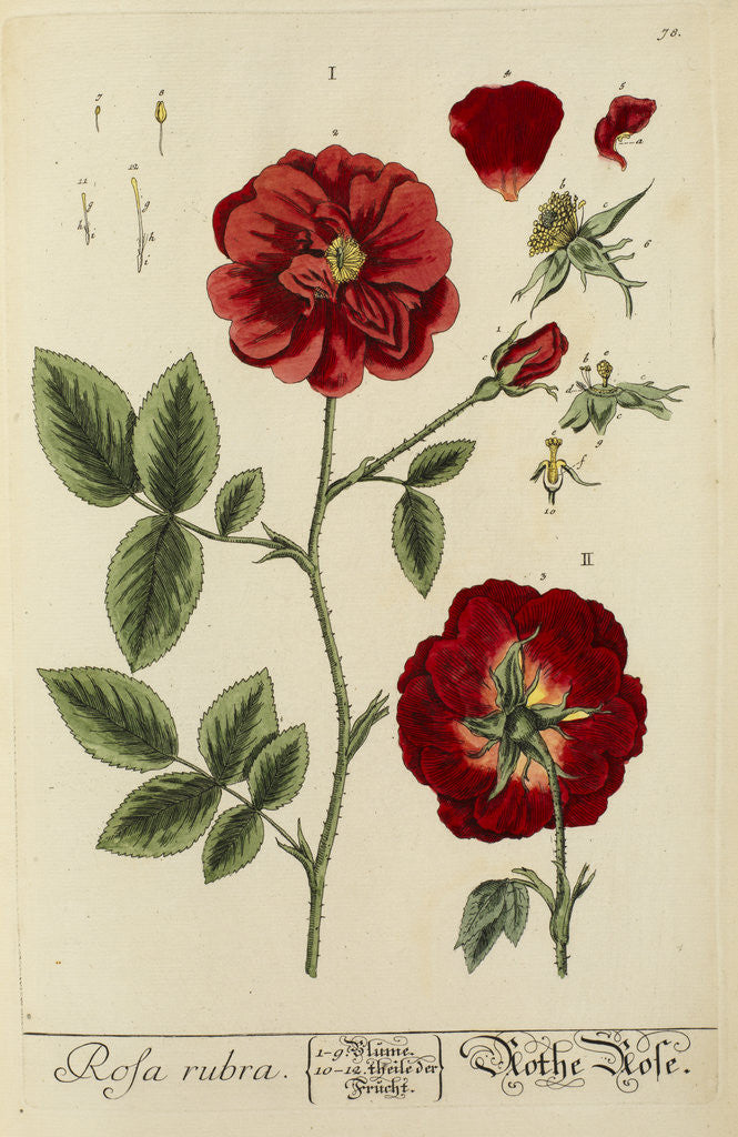 Detail of 'Rosa rubra' by Elizabeth Blackwell