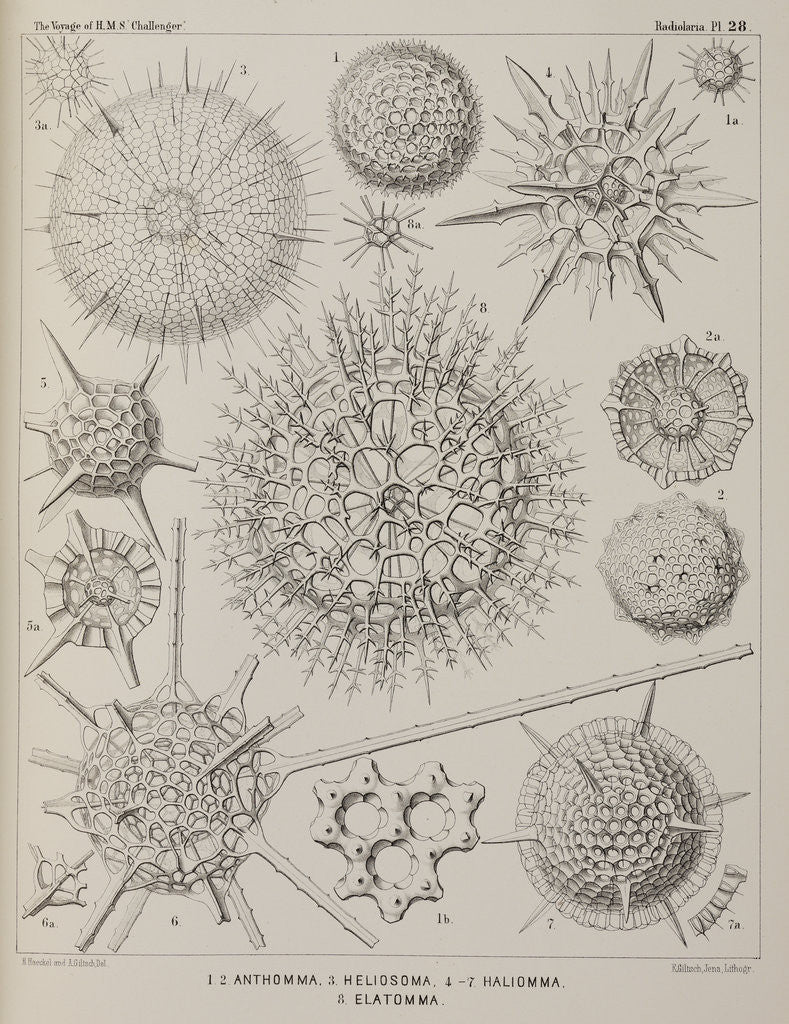 Detail of Various classes of radiolarian by E Giltsch