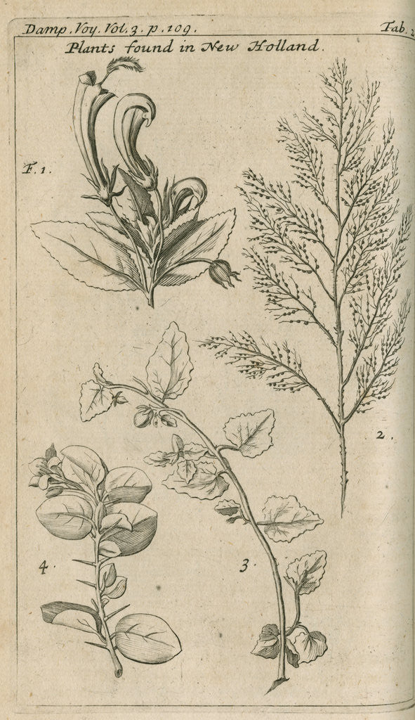 Detail of Plants of Australia [New Holland] observed by William Dampier (1651-1715) by Anonymous
