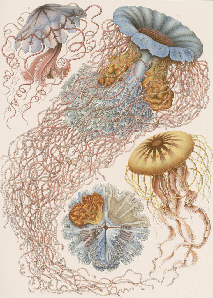 Detail of 'Discomedusae' [jellyfish] by Adolf Giltsch
