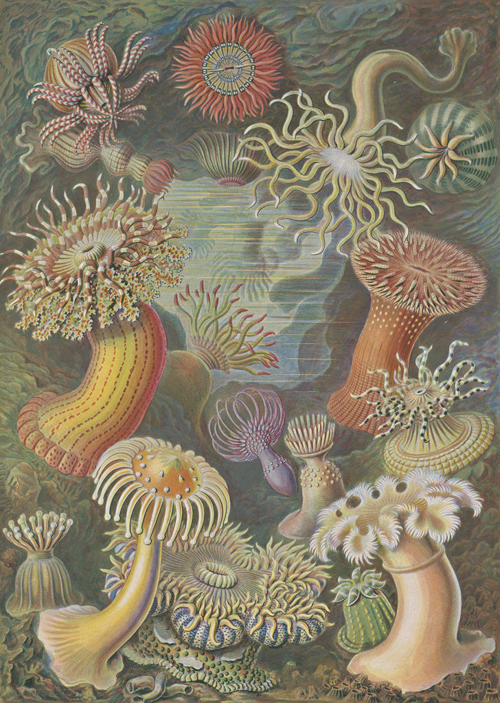 Detail of 'Actiniae' [sea anemones] by Adolf Giltsch