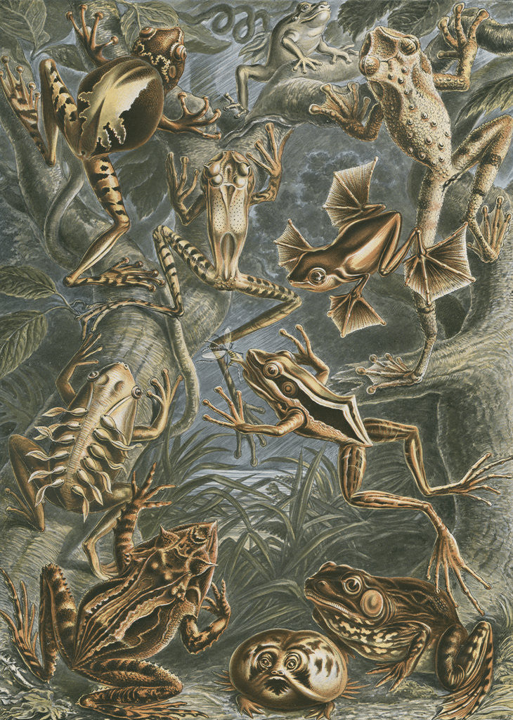Detail of Batrachia [frogs and toads] by Adolf Giltsch
